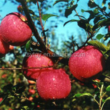 Apple type and pome fruit products type fresh red Qinguan apple