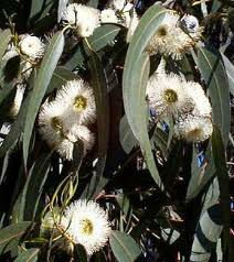 Eucalyptus Oil Used For Muscle Pain