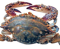 hot sale high quality live crab export