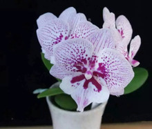 Latest Novelty Phalaenopsis Orchid Plant