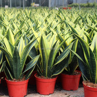 More varieties types of sansevieria