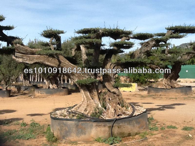 centenaire olivier usines bois es id de produit 170192545. Black Bedroom Furniture Sets. Home Design Ideas