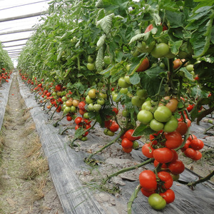 2017 Touchhealthy supply Hybrid tomato tree seeds/ tree tomato seeds/ tamarillo seeds for planting