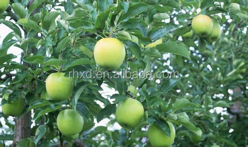 good taste fresh golden delicious apple from China