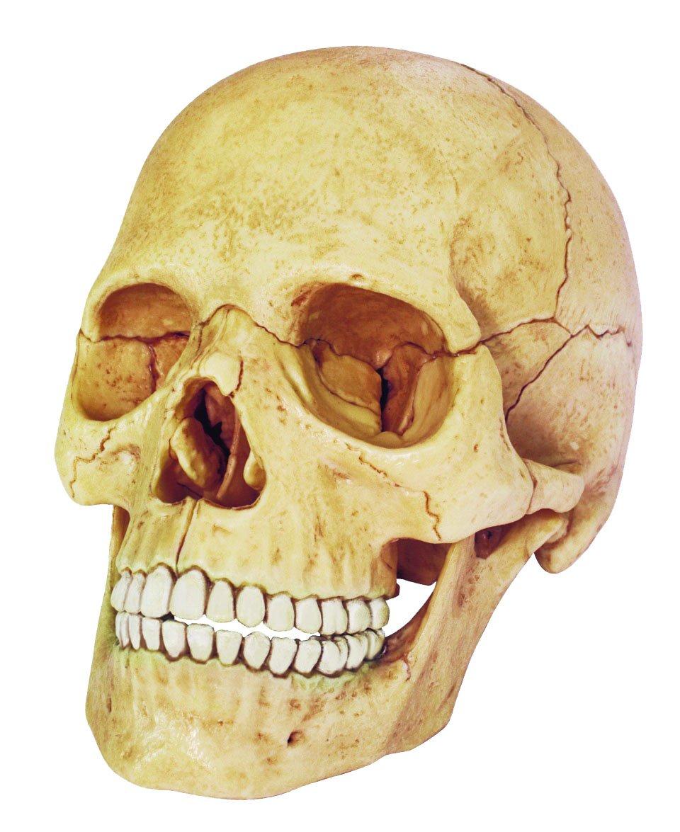 Фото черепа ребенка с зубами