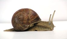 Buy live snails from Peru to the world of good quality natural