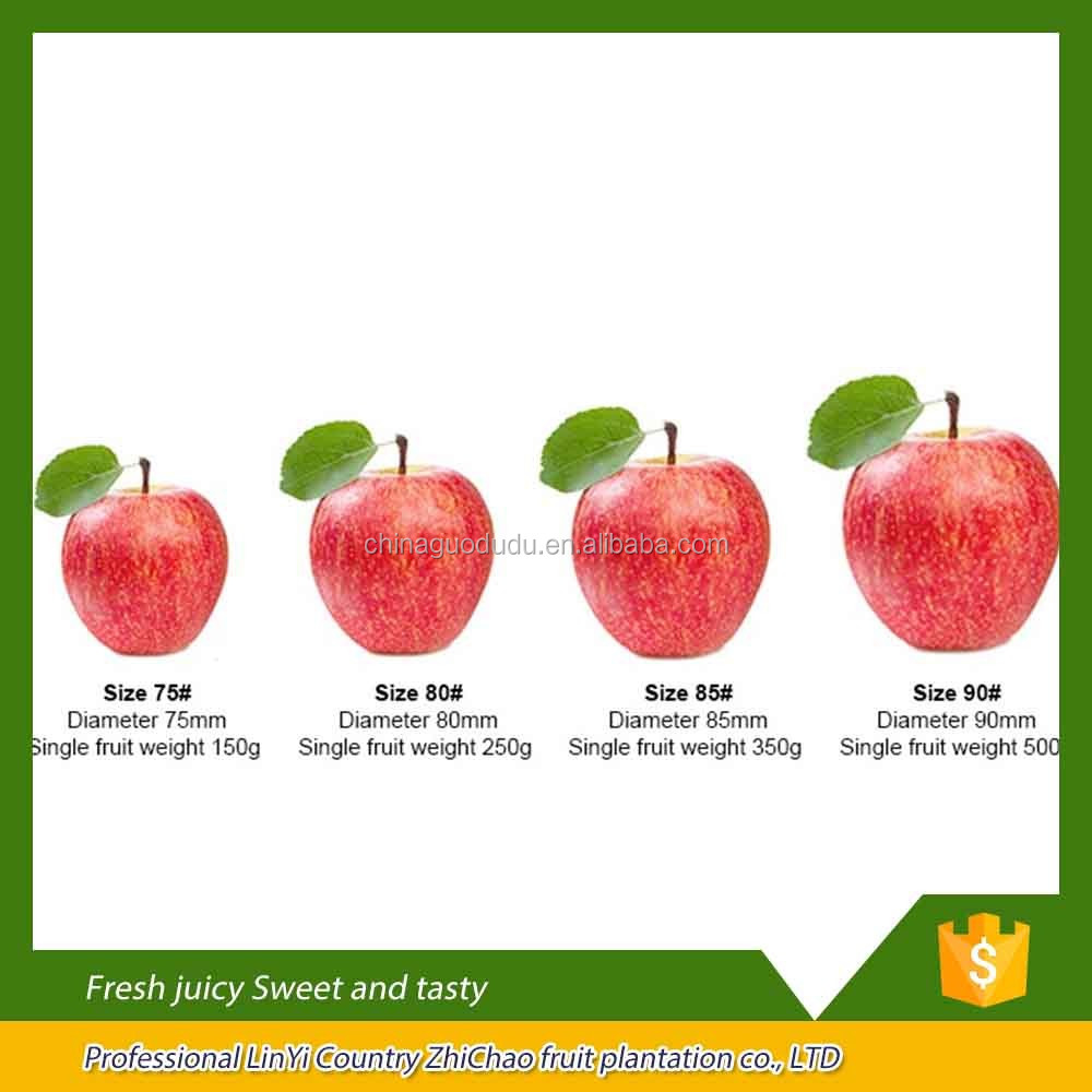 export fresh red delicious apple fruit fresh apple best price fuji apple