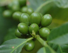 Painkiller for migraine:Green Coffee Bean Extract/Coffea arabica