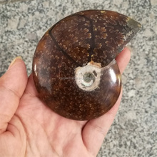 Wholesale natural ammonite for office decoration