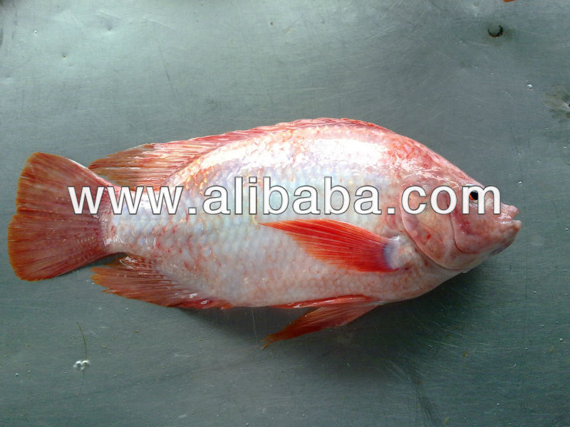 FROZEN RED TILAPIA