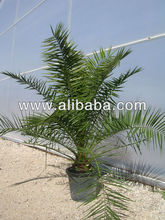 Phoenix Canariensis from 80/100 in 5 liters pot