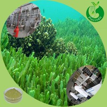 Dried seaweed powder seaweed extract fertilizer