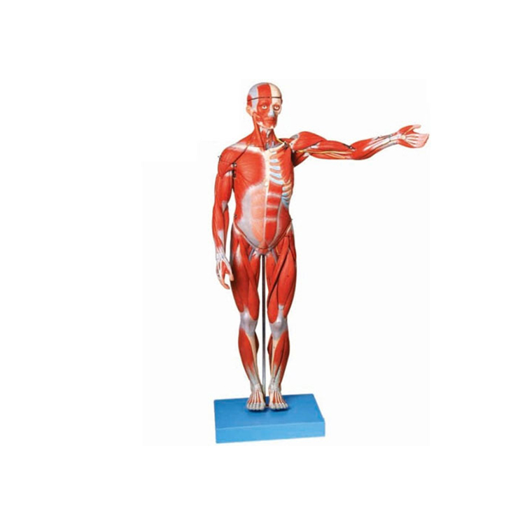 85cm Human Body Muscle With Internal Organs Human Anatomical