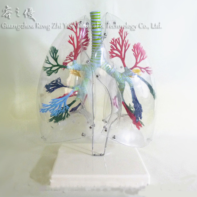 R090205 Human Transparent Lung Medical Anatomy Structure Model Teaching Aids