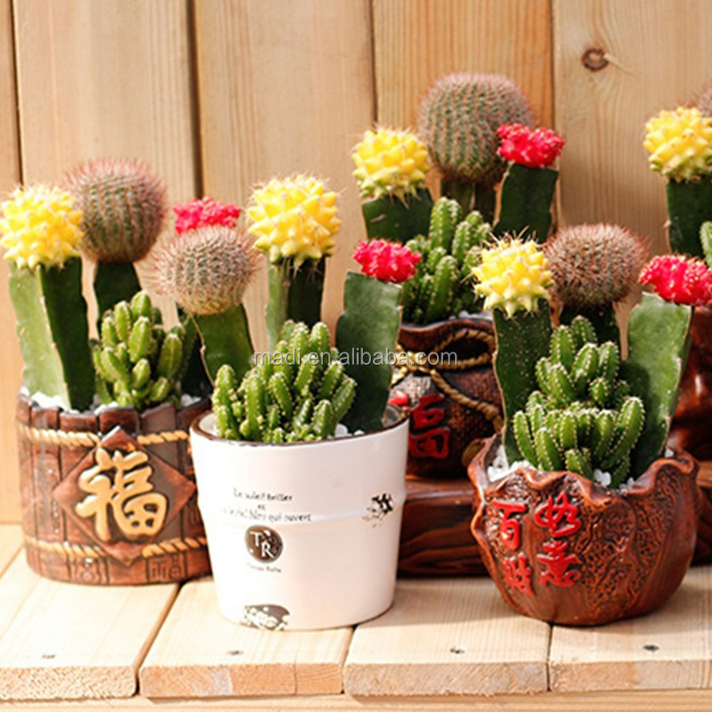 mini office desk plants cactus - buy natual cactus,colorful cactus