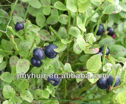 Natural dried bilberry extract 25%,dried bilberry extract,dried bilberry