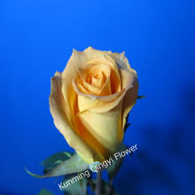 Supply Fresh Cut Flowers Yellow Rose and Rose Brazil