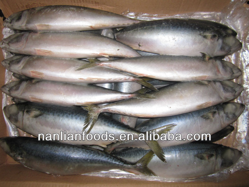 export frozen mackerel fish 400-600g