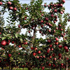 huaniu apple / red delicious apple from the direct grower & manufacturer