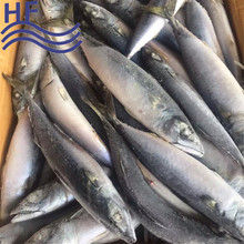 CHINA FROZEN MACKEREL FISH NEW LANDING 2016