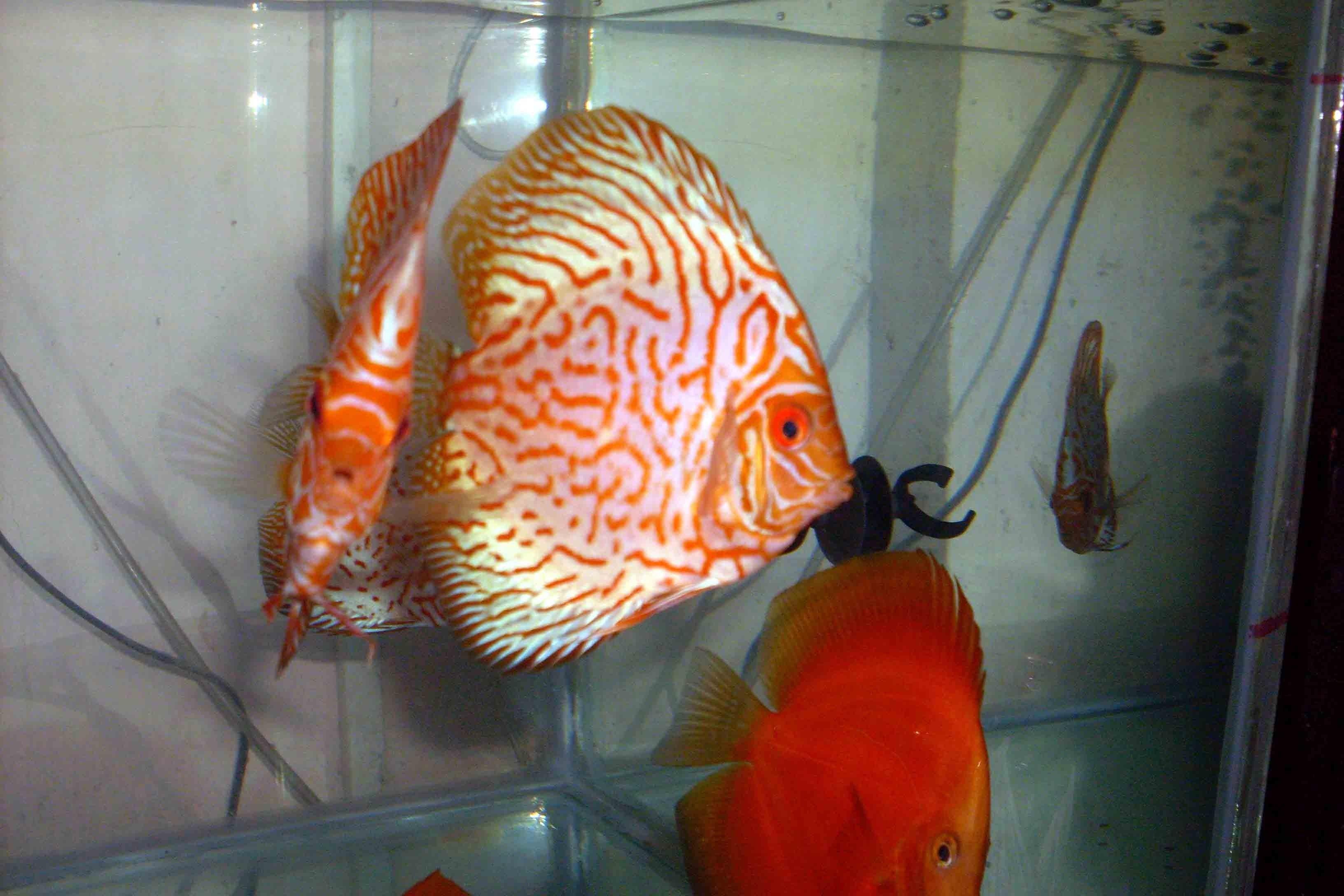 Pesci tropicali dell 39 acqua dolce altri prodotti per for Pesci tropicali acqua dolce