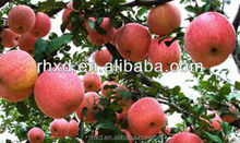 Fresh new crop fuji apple all specification