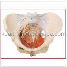 Female Pelvic with Pelvic Muscles and Nerve Model(Medical Model,Anatomical Model)