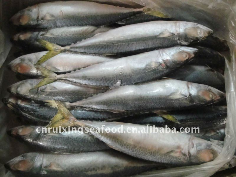 Frozen Big-eyed mackerel(Scomber Japonicus) fish food