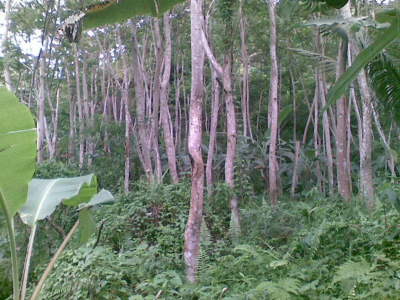 Falcata Tree