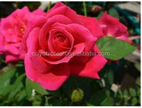 100% Pure Natural Rose Periwinkle Flower Extract