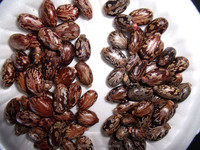 High Quality Castor Bean From China