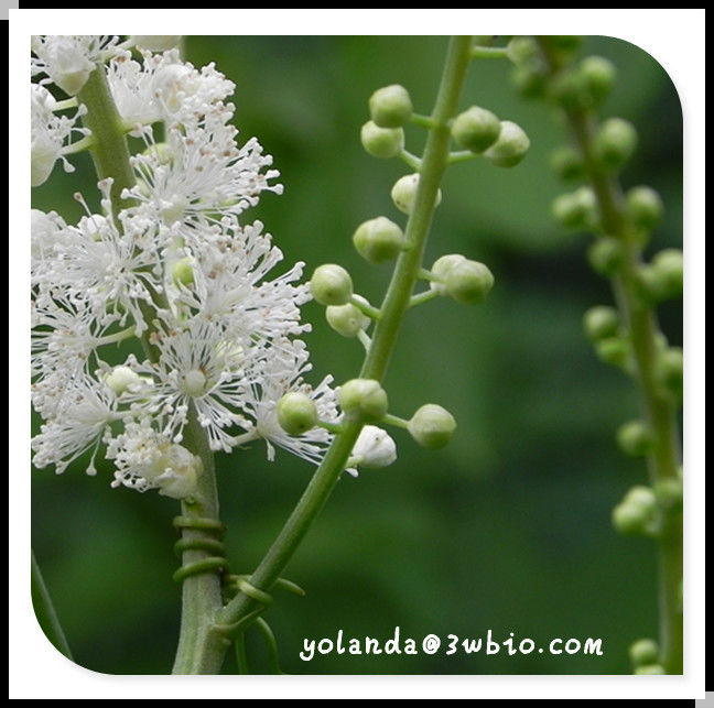 ( EINECS:283-951-6) Black Cohosh Extract