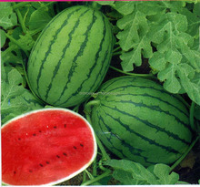 plant extract natural fruit watermelon extract watermelon seed powder with competitive price