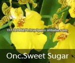 BB Orchids, Orchid plants fresh from Thailand : Sweet sugar