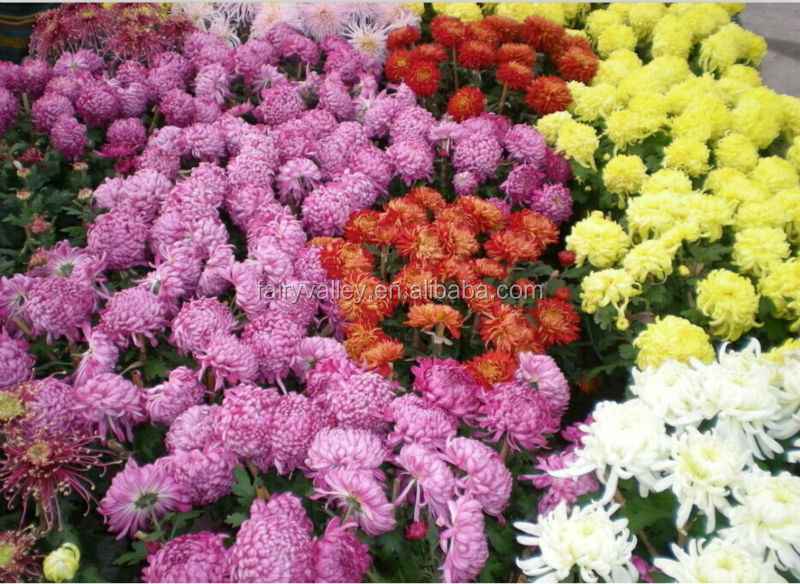 All Kinds Of Hybrid Chrysanthemum Flower Seeds For Sale