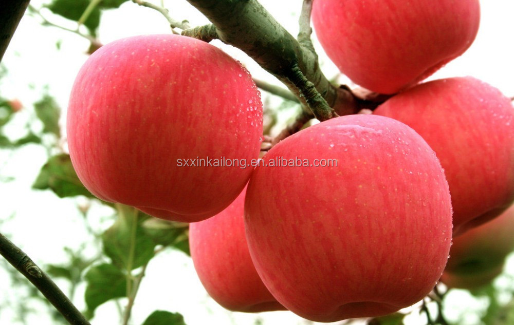 Fresh fuji apple fruit for sale