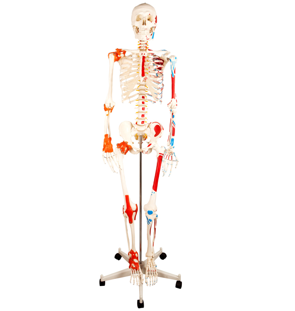 H-11102-1 Medical Human Anatomical Skeleton Model with Painted Muscle 180CM for training