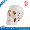 Teaching Human Skull For wholesale School Supplies