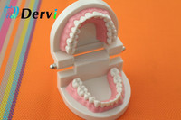28 Teeth plastic dental model of teeth