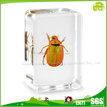 Real Golden Chafer for School Secience Activity