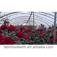 Hot high quality roses, rose buds