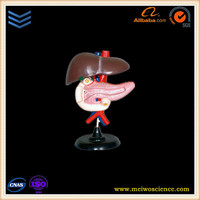 the liver pancreas and duodenum anatomical model human body anatomy model