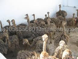 Excellent quality ostrich chicks for sale best price quail egg
