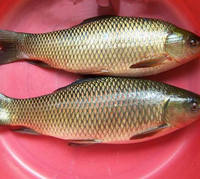 hot sale high quality export fresh fish