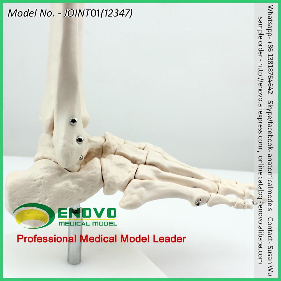 KNIE ANATOMIE 12351 Menschliche Skelette Kniegelenk Modell ...