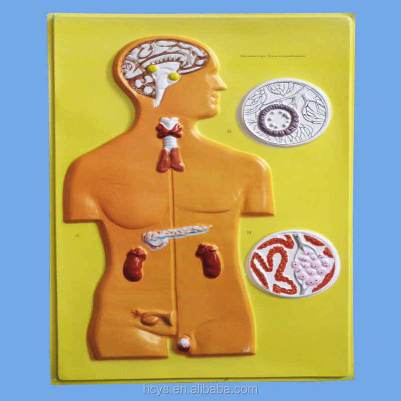Biology Teaching Aids Anatomical Bas Relief Model of Endocrine Glands
