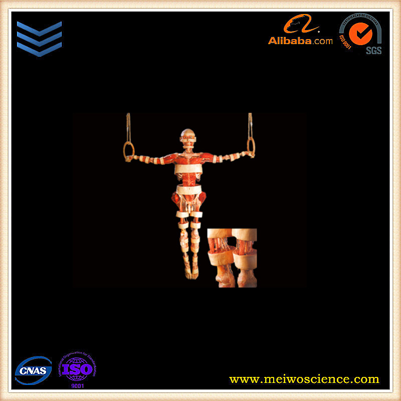 vivid silicon rubber gymnasts specimens plastination human body for medical research