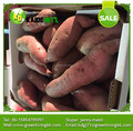 new arrival high quality fresh sweet potato