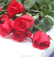 Best Hot Sale fresh cut flowers kenya roses with redness colorful