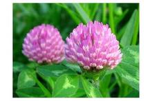 plant extract / red clover extract isoflavones 2.5%,8%,20%,40%